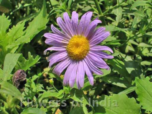 Blue Alpine Daisy